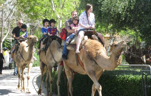 חי פארק- רכיבה על גמלים
