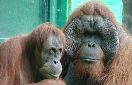 חי פארק- קופים