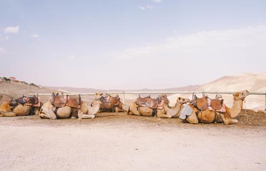 ארץ בראשית - גמלים נחים