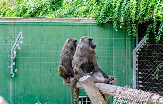 חמת גדר - קופים