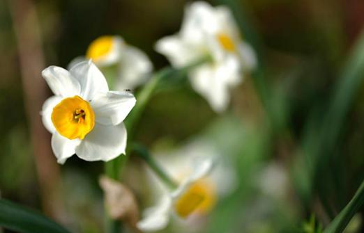 אשכולית בקתות עץ בפרדס - שלל פרחים