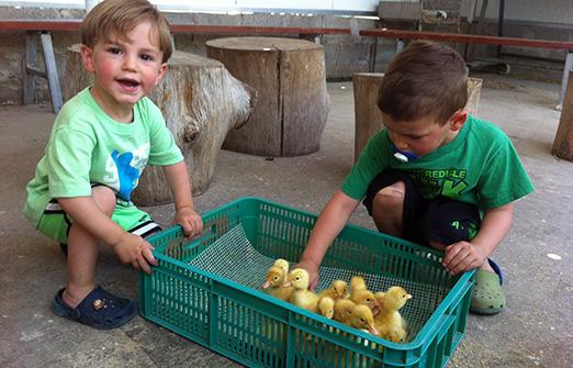 ברווזים בכפר- ליטוף