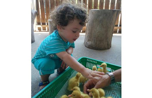 ברווזים בכפר - ליטוף אפרוחים