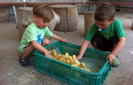 ברווזים בכפר- פעוט בפינת הליטוף